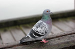http://www.dreamstime.com/stock-images-pigeon-wild-pier-image31762544